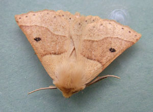 Scalloped Oak (Crocallis elinguaria) unicolor form photographed 04 July 2011 by S Calvert-Fisher