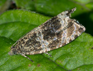 Celypha lacunana - a micromoth, photographed 07 July 2011 by B Crowley