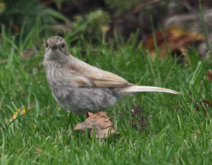Dunnock (Prunella modularis) leucistic jeuvenile, photographed 31 August  2011 by B Crowley, with thanks to Jason Coppock, Ben Carpenter and Ian Lewington for helping with the identification.