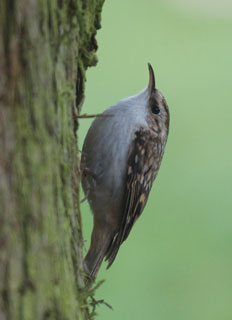 Treecreeper (Certhia familiaris) photographed 20 November 2011 by George Cocker