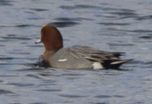 Wigeon (Anas penelope) - male, photographed 03 December 2011 by B Crowley