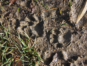 Otter footprints. Photograph by J Cartmell, 01 November 2012.  Identification confirmed by Graham Scholey.