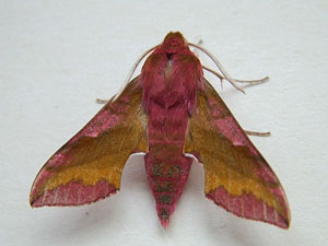 Deilephila porcellus, Small Elephant Hawkmoth, photographed 20/06/2013 by Sue Calvert-Fisher