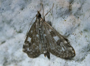 Udea olivalis, a micromoth, photographed 01 July 2013 by Sue Calvert-Fisher