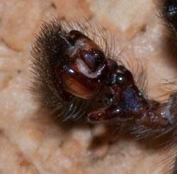 Amaurobius ferox, closeup of palp, photographed 06 February 2010 by B Crowley