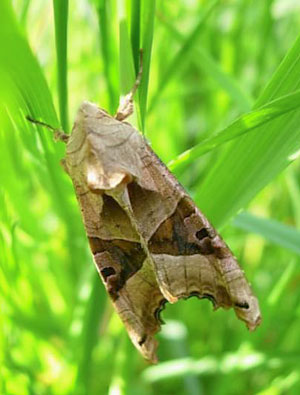 Angle shades moth, photographed 8 May 2008 by S Calvert-Fisher