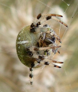 Araneus quadratus, photographed 18 September 2009 by S Calvert Fisher