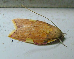 Carcins quercana - a micromoth, photographed 18 August 2009 by S Calvert-Fisher