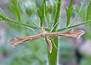 Platyptilia pallidactyla = a plume moth, photographed 13 June 2011 by S Calvert-Fisher