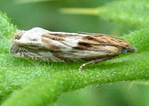 Eucosma cana, a micromoth, photographed 21 June 2011 by S Calvert-Fisher