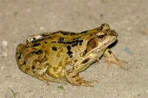 Common frog, photographed 03 September 2005 by L Pasquire