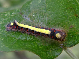 Larva of the Grey Dagger moth (Acronicta psi) photographed 11 September 2008 by S Calvert-Fisher