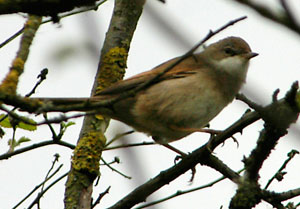 Whitethroat, photographed 26 April 2006 by L Pasquire