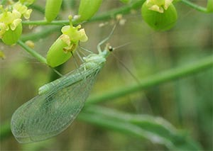A lacewing, photographed 31 July 2005 by B Crowley
