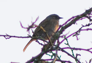 Dunnock, photographed 18 March 2009 by B Crowley