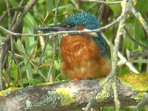 Kingfisher, photographed 18 September 2005 by Stephen Burch