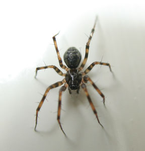 Lethyphantes minutus, a money spider, photographed 7 September 2008 by B Crowley