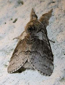 Pale Tussock (Calliteara pudibunda) photographed 24 May 2009 by S Calver-Fisher.