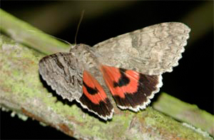 Red underwing, photographed 3 Sept 2005 by L Pasquire