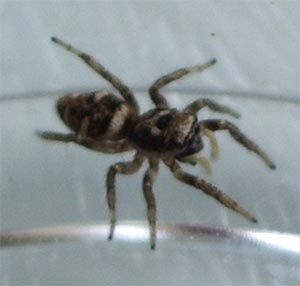 Salticus scenicus, a jumping spider, photographed 19 June 2005 by B Crowley