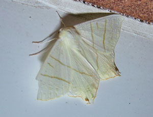 Swallow-tailed moth (Ourapteryx sambucaria) photographed 01 July 2008 by S Calvert Fisher