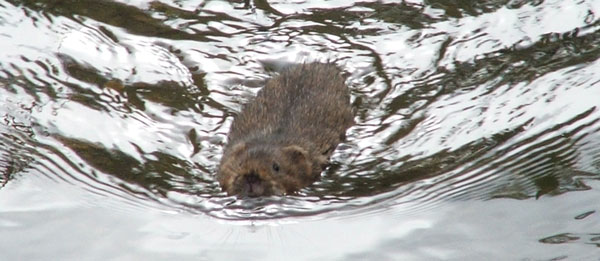 Water vole, photographed 28 May 2006 by Jo Cartmell