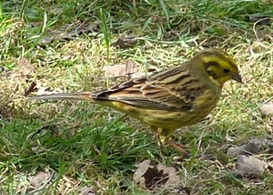 Yellowhammer (Emberiza citrinella) photographed 24 March 2009 by S Calvert-Fisher