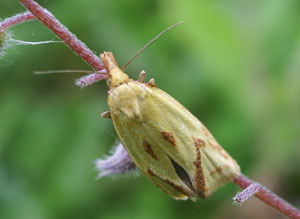 Agapeta hamana, photographed 18 June 2006 by B Crowley
