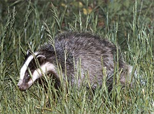Badger, photographed May 1988 by R Eeles