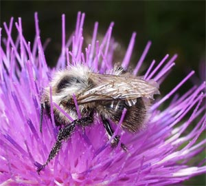 Bumble-bee, photographed 14 Aug 2005 by B Crowley