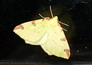 Brimstone moth, photographed 19 April 2007 by B Crowley