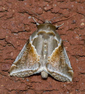 Buff Arches (Habrosyne pyritoides) photographed 01 July 2009 by B Crowley