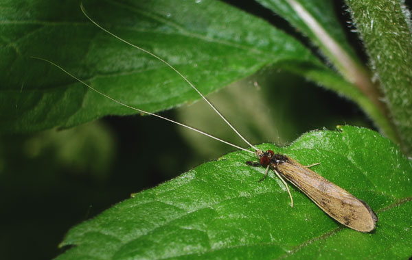 A long-horned caddis fly, photographed 03 June 2006 by B Crowley