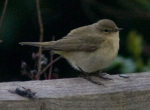 Chiffchaff (Phylloscopus collybita) photographed 11 April 2009 by B Crowley