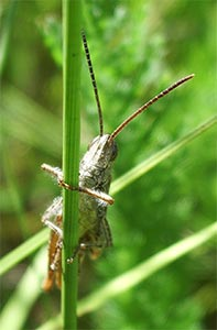 Field grasshopper, photographed 17 July 2005 by B Crowley