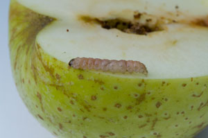 Codling Moth (Cydia pomonella) caterpillar found in apple, photographed 06 September 2009 by B Crowley