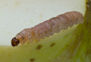 Codling moth (Cydia pomonella) found in apple, photographed 06 September 2009 by B Crowley