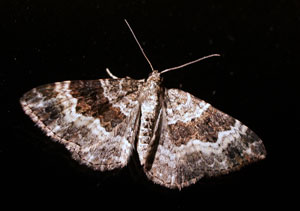Common Carpet, photographed 05 August 2006 by B Crowley