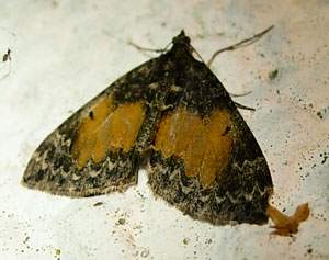 Common Marbled Carpet (Chloroclysta truncata) photographed 29 September 2009 by S Calvert-Fisher