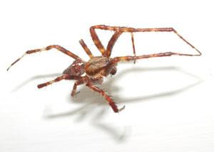 Araneus diadematus - male - photographed 13 July 2006 by B Crowley