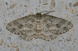 Engrailed (Ectropis bistortata) photographed 29/30 June 2009 by B Crowley