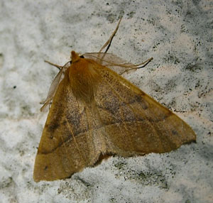 Feathered Thorn (Colotois pennaria) photographed 27 October 2009 by S Calvert-Fisher