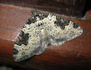 Garden Carpet (Xanthorhoe fluctuata) photographed 12 September 2008 by B Crowley
