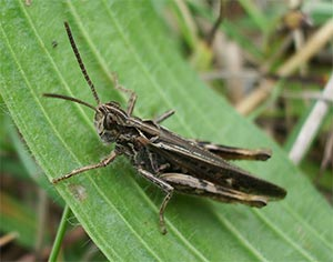 Mottled grasshopper, photographed 31 July 2005 by B Crowley