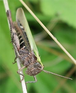Grasshopper, photographed 31 July 2005 by B Crowley