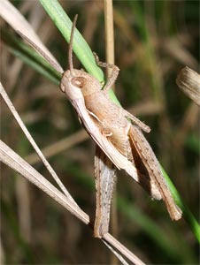 Grasshopper nymph, photographed 14 August 2005 by B Crowley