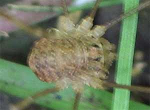 Paroligolophus agrestis, photographed 6 June 2005 by B Crowley, ID by S Gregory