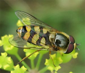 Hoverfly, photographed 31 July 2005 by B Crowley