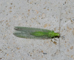 Chrysopa pallens - a green lacewing, photographed by B Crowley, 29/30 June 2009