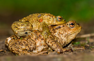 Common toads (Bufo bufo) photographed 04 April 2008 by J Kellard
